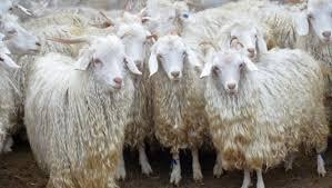 Чем отличаются молочные и пуховые козы?