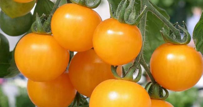 """Название какого овоща происходит от итальянского и означает """"золотое яблоко""""?"""