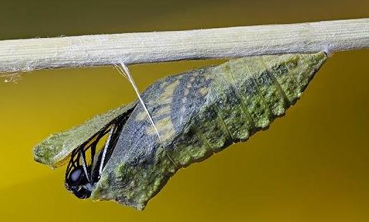 Процесс рождения бабочки Махаона.