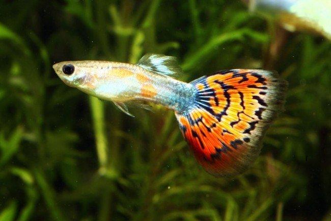 гуппи - аквариумные рыбки