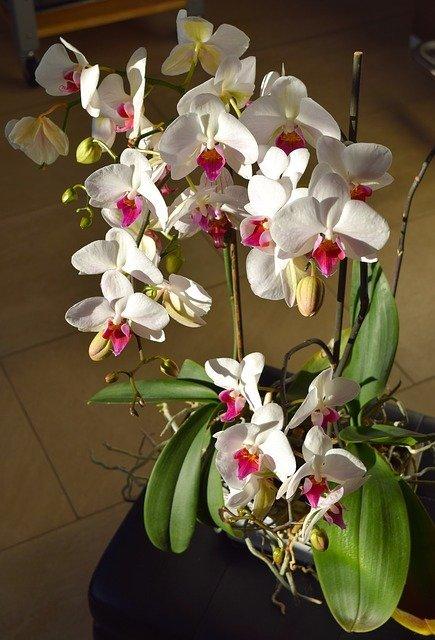 орхидея и выращивание