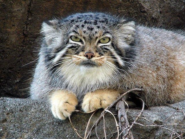 Манул - дикая кошка