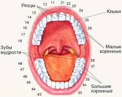 Расположение зубов мудрости в ротовой полости