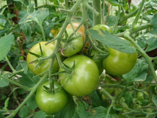 томаты не краснеют