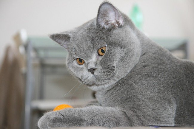 Кошка британской породы.