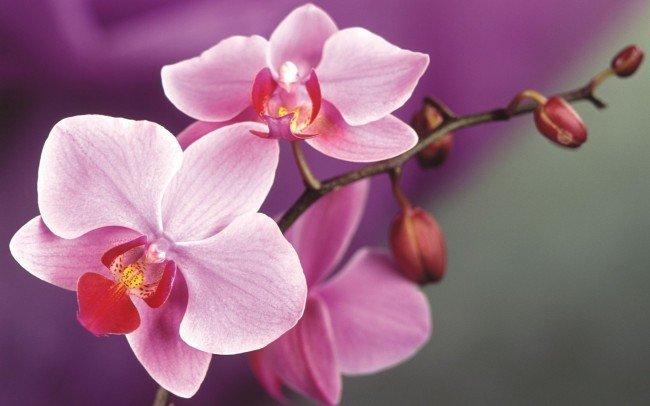 нежные розовые оттенки орхидей