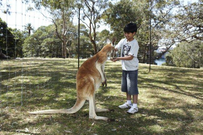 Общение с кенгуру в Австралии.
