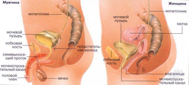 Органы малого таза