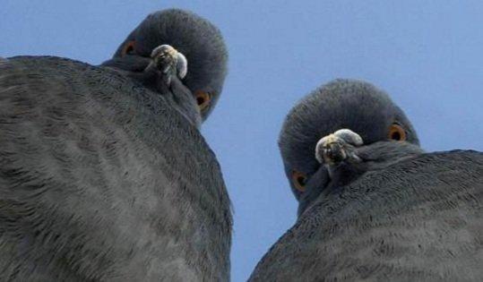 количество хромосом у голубя