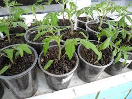 выращивание крепкой рассады