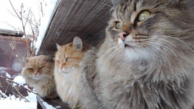 Сибирские кошки зимой
