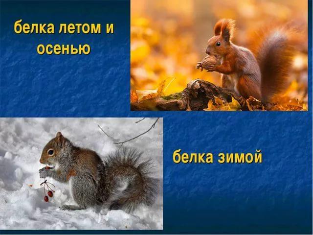 белка зимой и летом