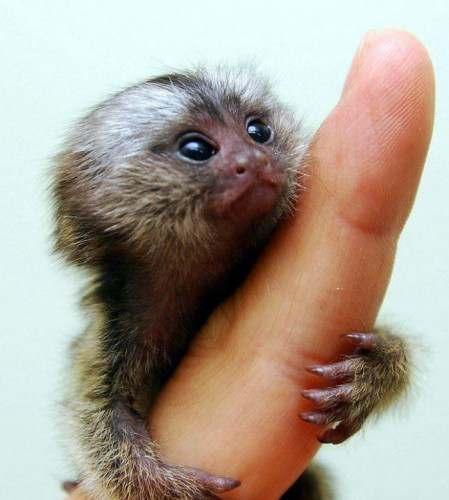 природа: обезьяна игрунка