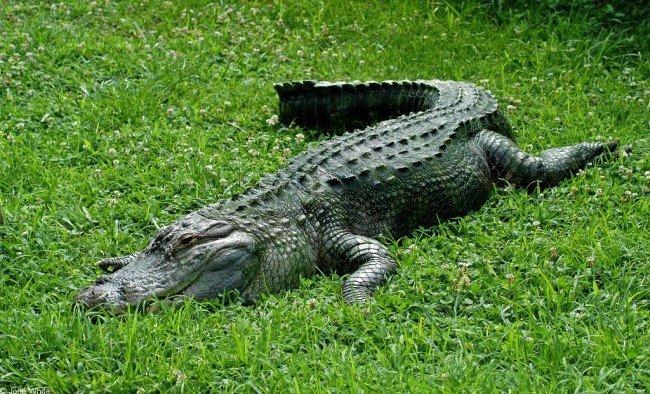 100 к 1 крокодил