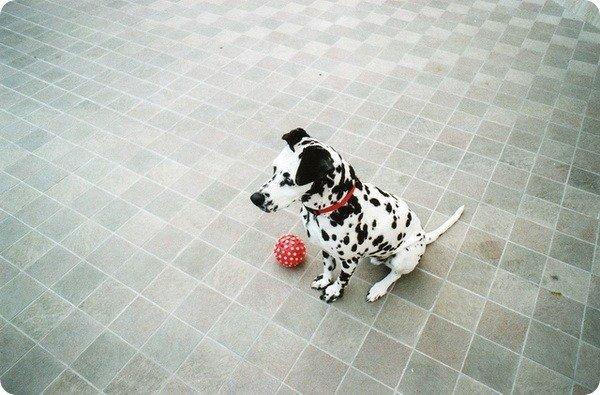 далматин щенок
