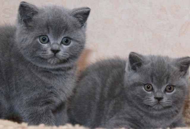 Котята любимой породы кошек в России.