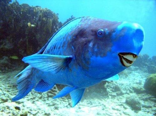 это интересно: Абсолютно голубая рыба-попугай.