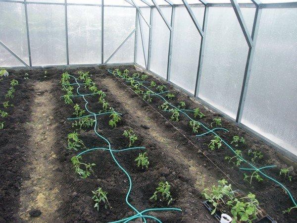 Как расположить кусты томатов в теплице?