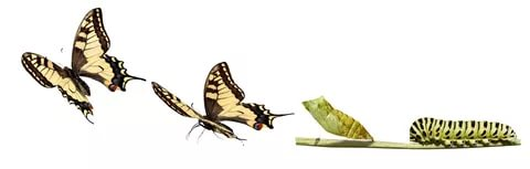 Из гусеницы в бабочку.