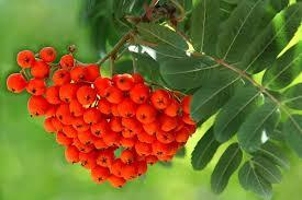 Можно ли есть ягоды красной рябины?