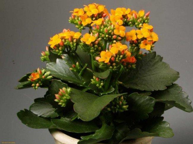 Какое комнатное растение называют комнатным женьшенем?