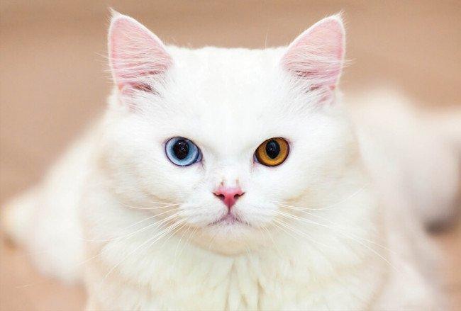 какие породы белых кошек имеют разноцветные глаза