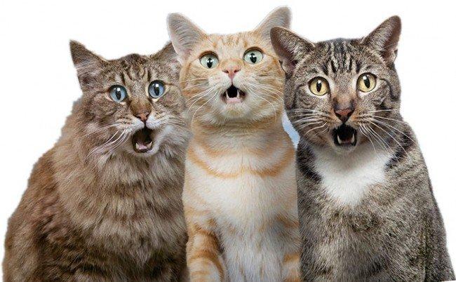 Орущие коты
