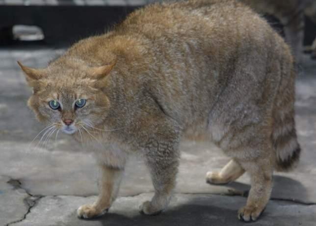 красавица кошка