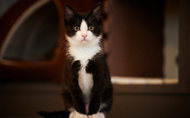 Кот черно-белый
