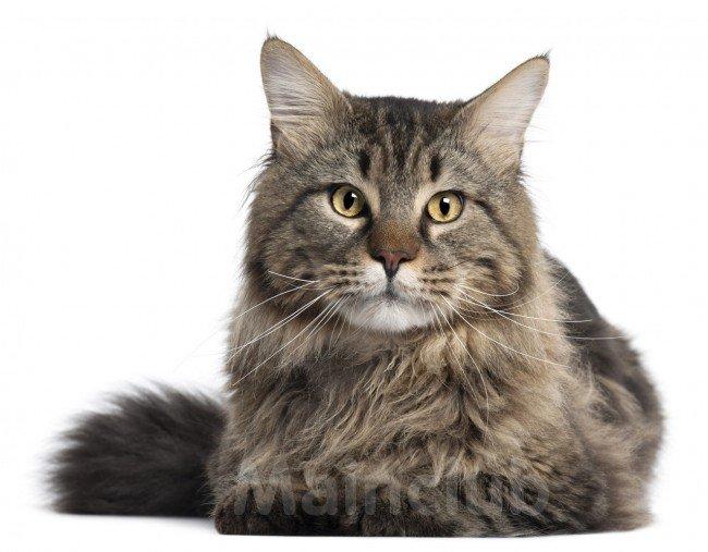 кошки и болезни