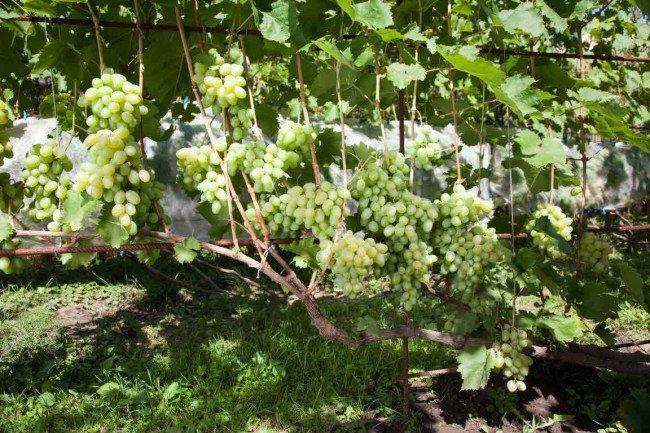 Виноград во время цветения уход